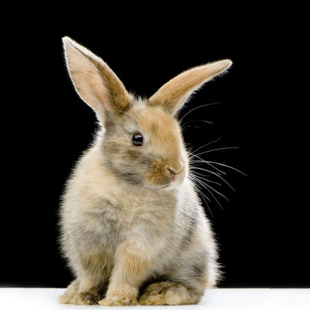 Rabbit watching the camera in front of a black background Stock Photo