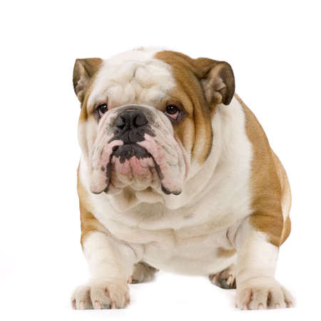 ugliness: english Bulldog cream and white stitting in front of white background