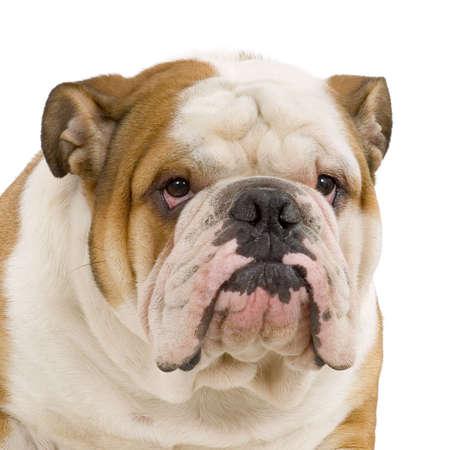bulldog: crema inglesa del bulldog y el stitting blanco delante del fondo blanco