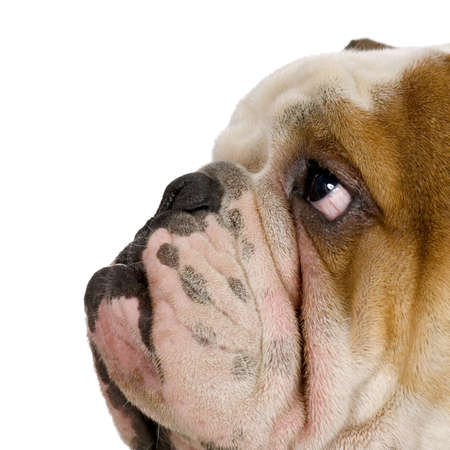 boxer dog: english Bulldog cream and white stitting in front of white background