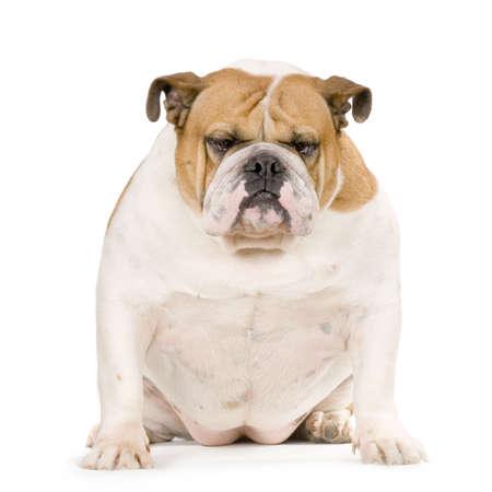 stitting: english Bulldog cream and white stitting in front of white background