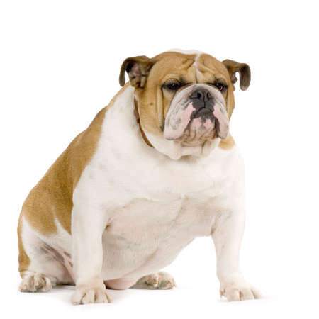 bulldog: Bulldog Ingl�s crema y blanco stitting delante de fondo blanco