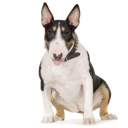 bajo y fornido: American Staffordshire terrier sentado delante de un fondo blanco  Foto de archivo