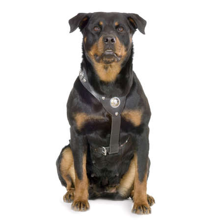 stocky: rottweiler sitting in front of white background