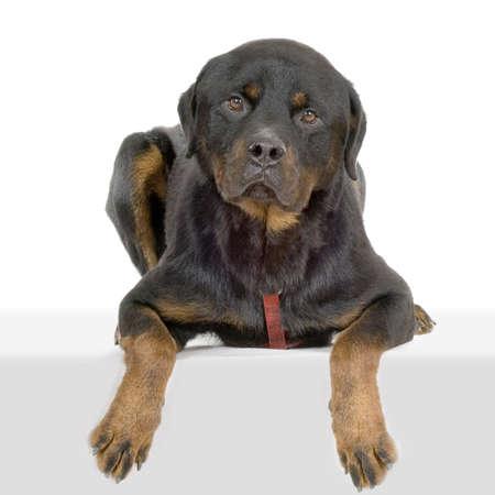 bajo y fornido: rottweiler delante de fondo blanco  Foto de archivo