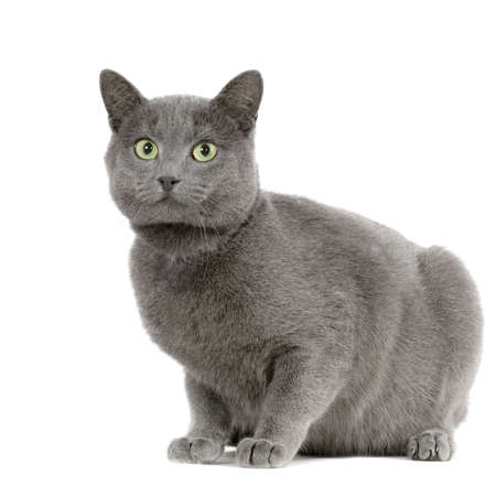 burmese: Chartreux in front of a white background