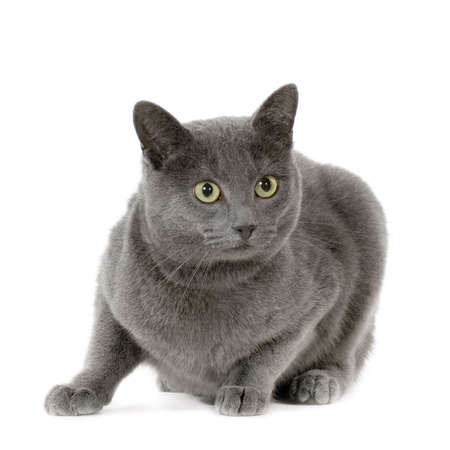 dorombolás: Chartreux in front of a white background