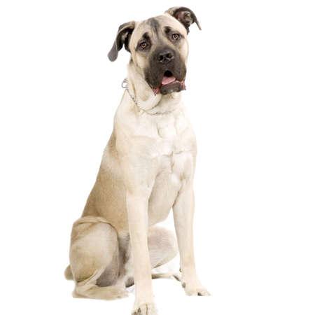 cane corso: Cane Corso Italiano seduta di fronte a sfondo bianco
