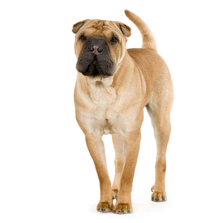 wrinkely: Sharpei cream  in front of white background