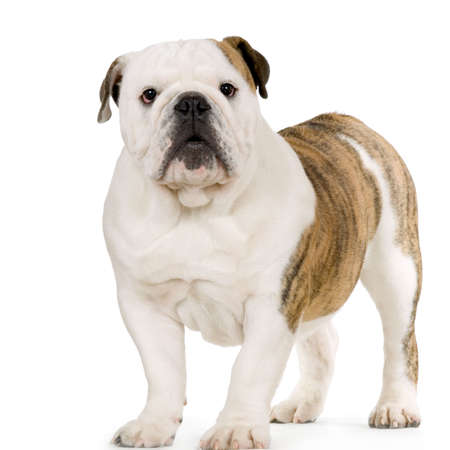 english bulldog puppy: Young english Bulldog cream and white standing in front of white background Stock Photo