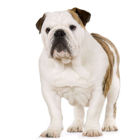 wrinkely: Young english Bulldog cream and white standing in front of white background Stock Photo