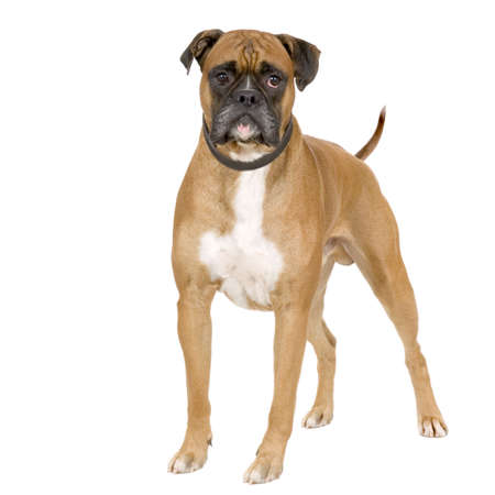 Boxer standing in front of white background Stock Photo