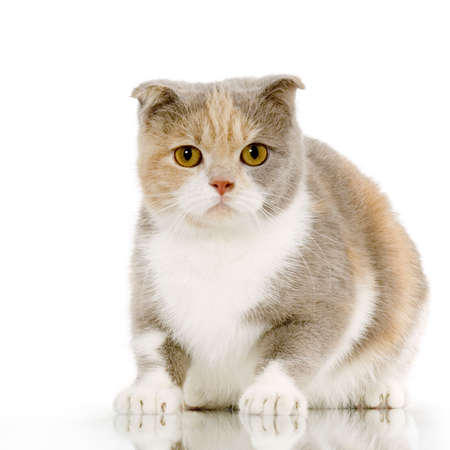 blue grey coat: Scottish Fold in front of a white background and looking the camera Stock Photo