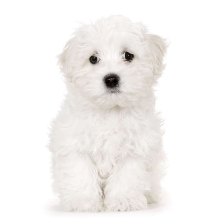 maltese dog: puppy maltese dog sitting in front of white background Stock Photo