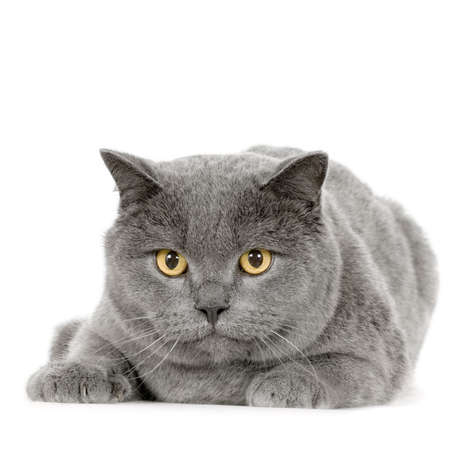 Chartreux in front of a white background photo