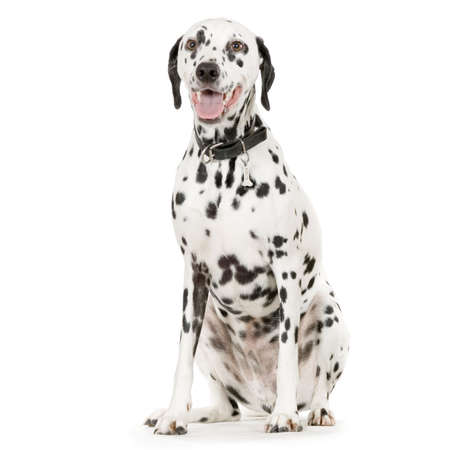 Dalmatian in front of white background Stock Photo