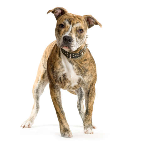 American Staffordshire terrier sitting in front of a white background Stock Photo - 678607