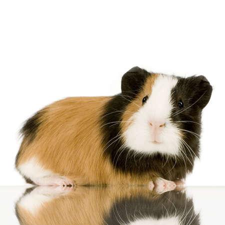świnka morska: świnka morska na białym tle