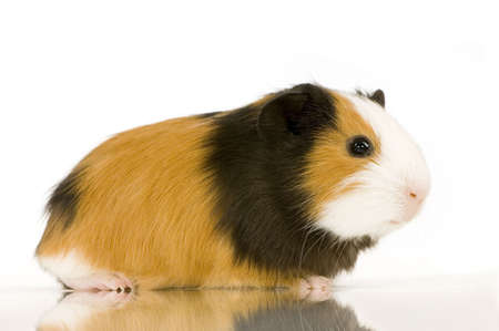 guinea pig against a white background photo