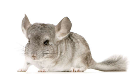 chinchilla: Young Chinchilla in front of white background