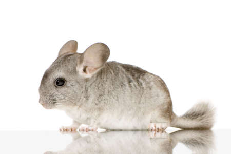 chinchilla: Young Chinchilla in front of white background Stock Photo