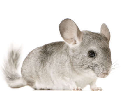 Young Chinchilla in front of white background photo