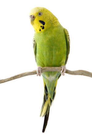 perching: budgien in front of a white background