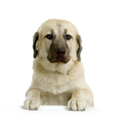 shepherd dog: Anatolian Shepherd Dog in front of white background Stock Photo