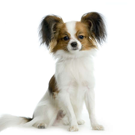 long haired chihuahua: long haired chihuahua sitting in front of white background