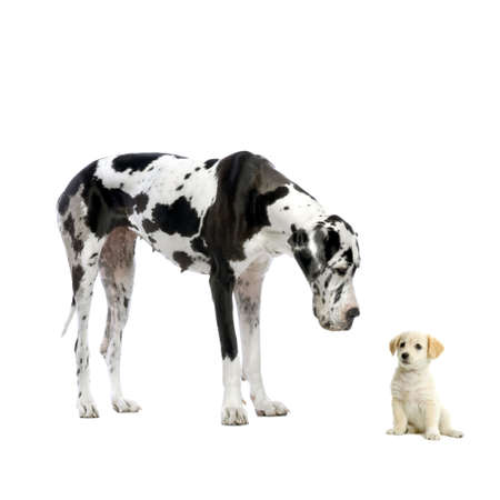 big and small: Great Dane HARLEQUIN and puppy Labrador looking at each other in front of a white background