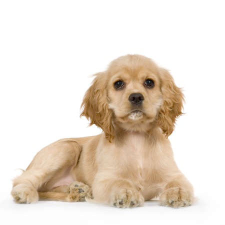 cocker: Puppy American Cocker Spaniel Breed in front of a white background Stock Photo