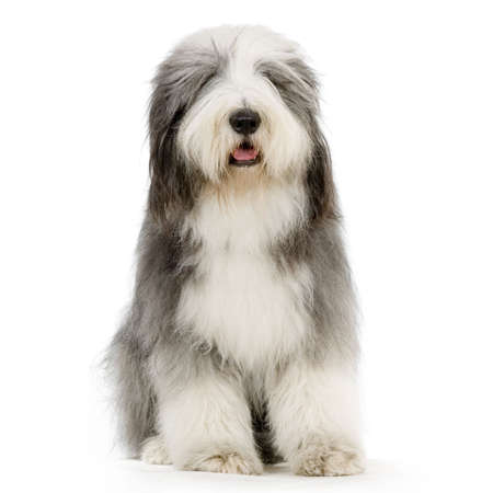 sheepdog: Bearded Collie in front of a white background Stock Photo