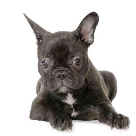 stitting: french Bulldog black and white stitting in front of white background Stock Photo
