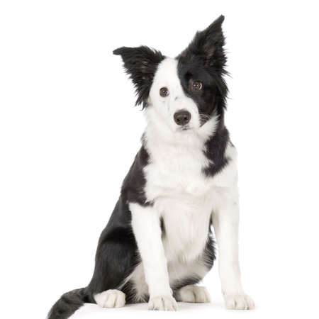 Border Collie in front of a white background Stock Photo - 719171