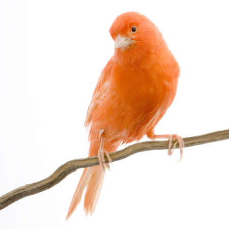 on perch: Red canary on its perch in front of a white background