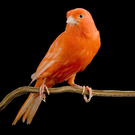 Red canary on its perch in front of a black background photo