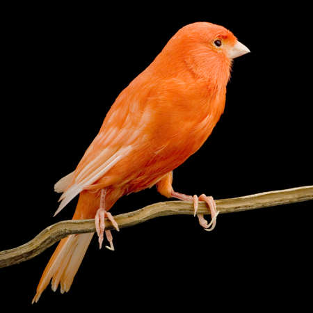 red canary: Red canary on its perch in front of a black background Stock Photo