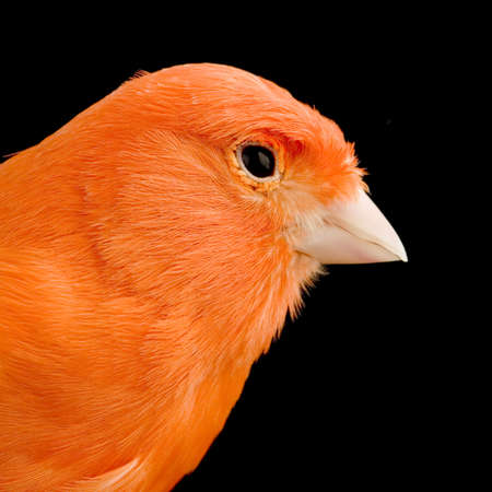 red canary: close-up on a Red canary on its perch in front of a black background Stock Photo