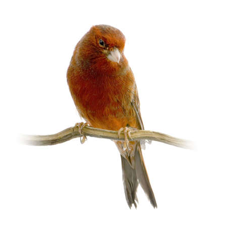 red canary: Red canary on its perch in front of a white background