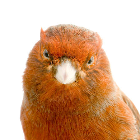 red canary: Close-up on a Red canary on its perch in front of a white background Stock Photo
