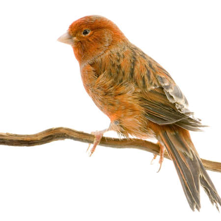 perching: Red canary on its perch in front of a white background