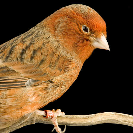 on perch: Red canary on its perch in front of a black background Stock Photo