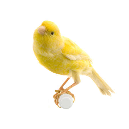 yellow canary on its perch in front of a white background photo