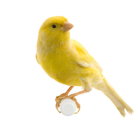 yellow canary on its perch in front of a white background