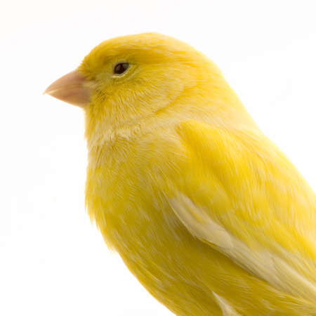 Close-up on a yellow canary in front of a white background photo