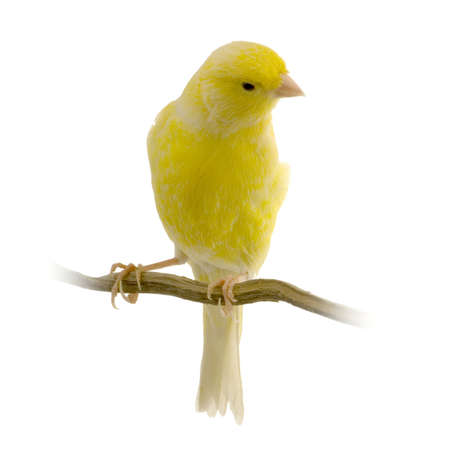 white perch: yellow canary on its perch in front of a white background Stock Photo