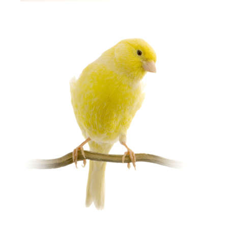 on perch: yellow canary on its perch in front of a white background Stock Photo