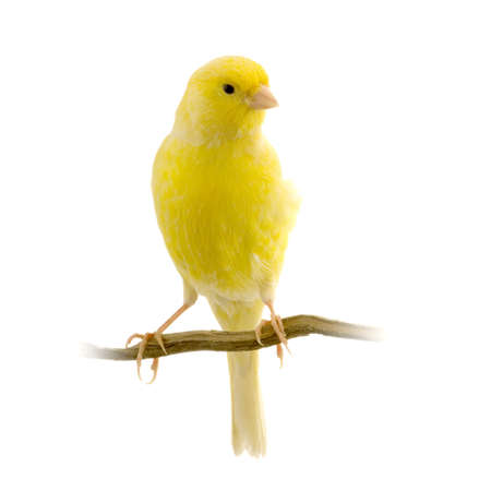 yellow canary on its perch in front of a white background Stockfoto