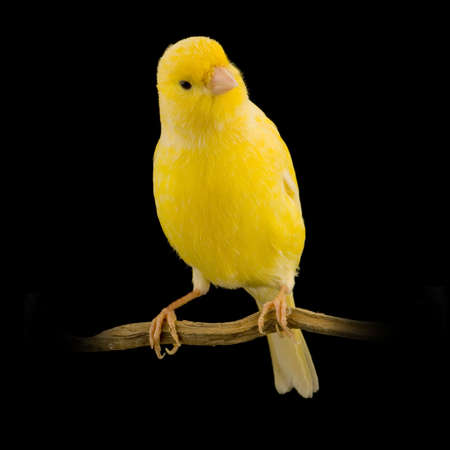yellow canary on its perch in front of a black background