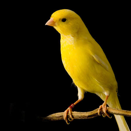 yellow canary on its perch in front of a black background photo